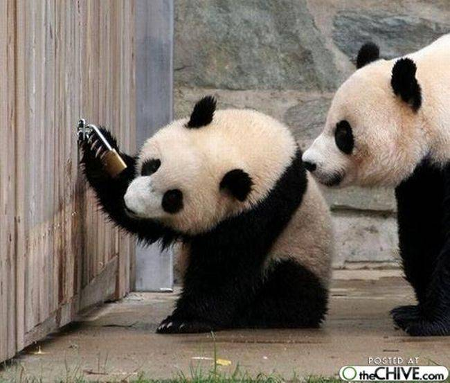 Ositos Panda Osos Panda