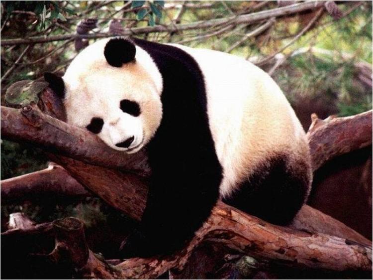 fotografía Oso Panda durmiendo