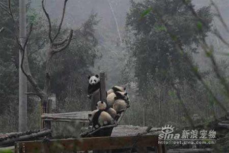 imagenes de osos pandas