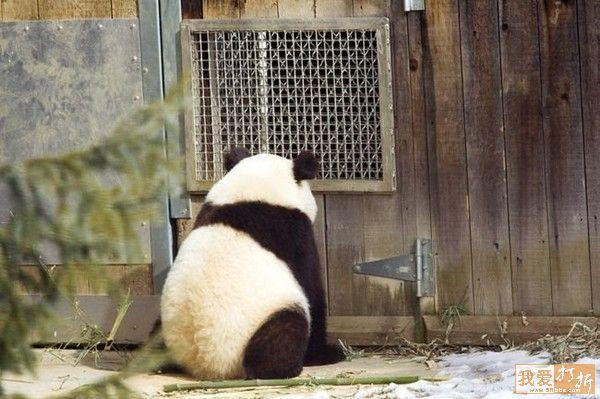 fotos osos pandas