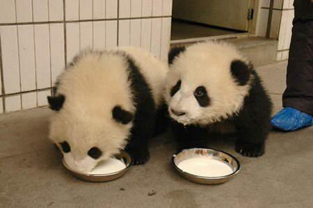 Ositos panda tomando leche
