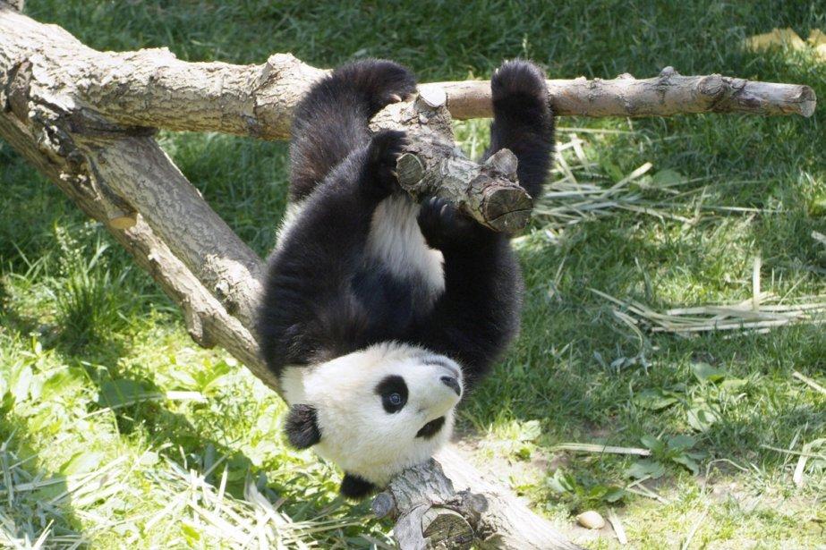 Imagen oso panda jugando