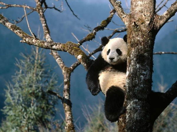 Imágen oso panda descansando