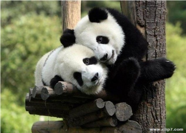 imágenes osos pandas